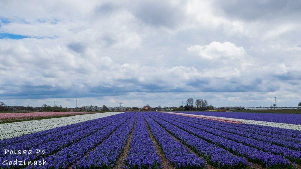 Tulipany-1846