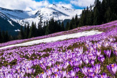Krokusy w Tatrach – Gdzie szukać wiosny?