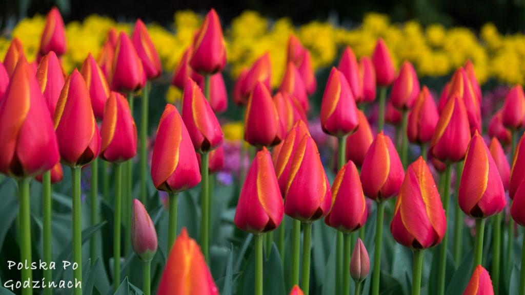 Tulipany-1705