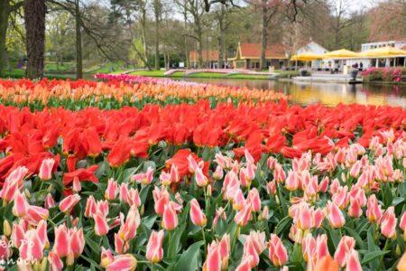 Keukenhof i festiwal tulipanów w Holandii