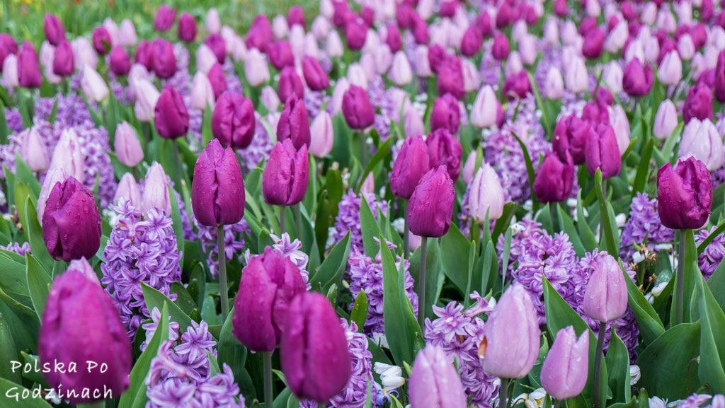 Tulipany-1779