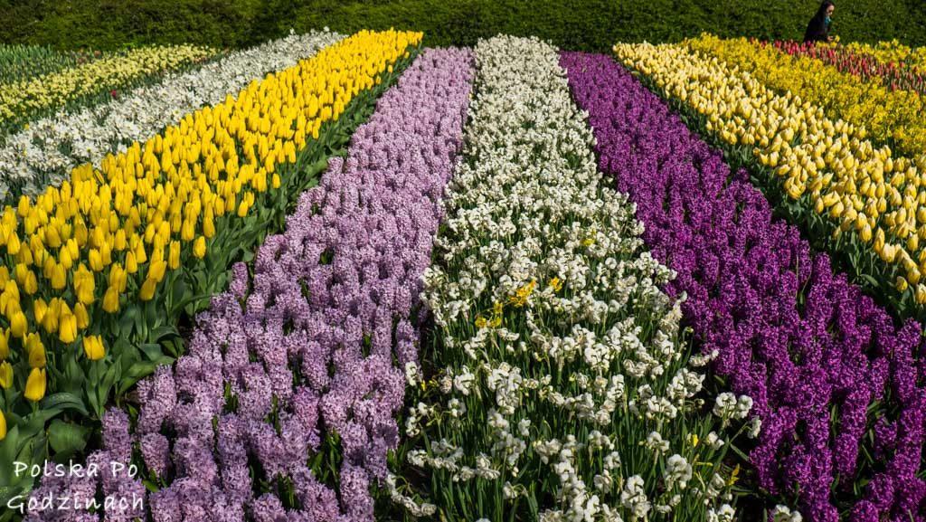Tulipany-1800