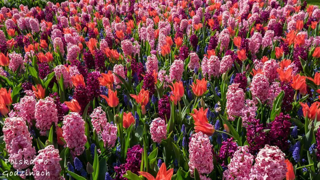 Tulipany-1816
