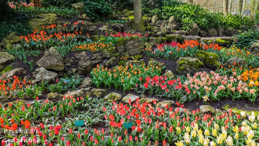 Tulipany-1823