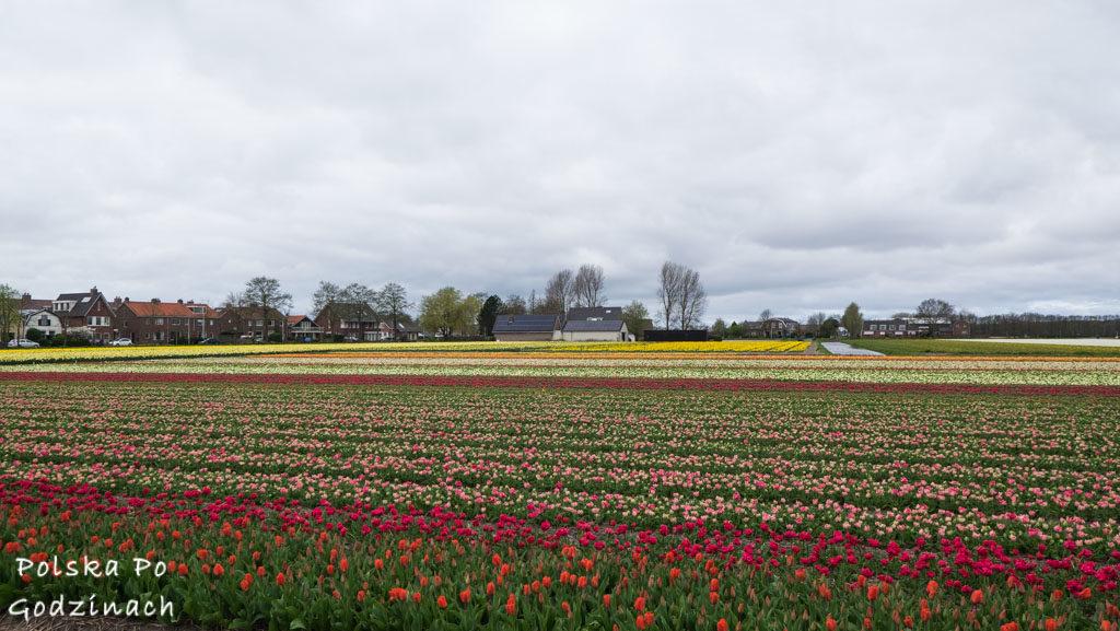 Tulipany-1848