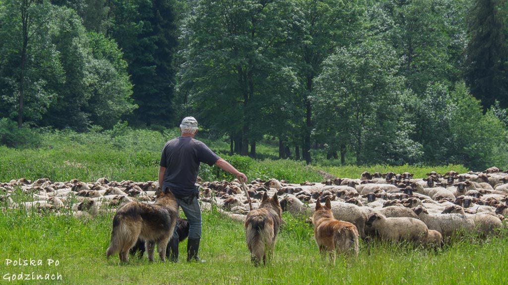 Beskid Niski był popularnym miejscem wypasu owiec. Obecnie trudno je spotkać.