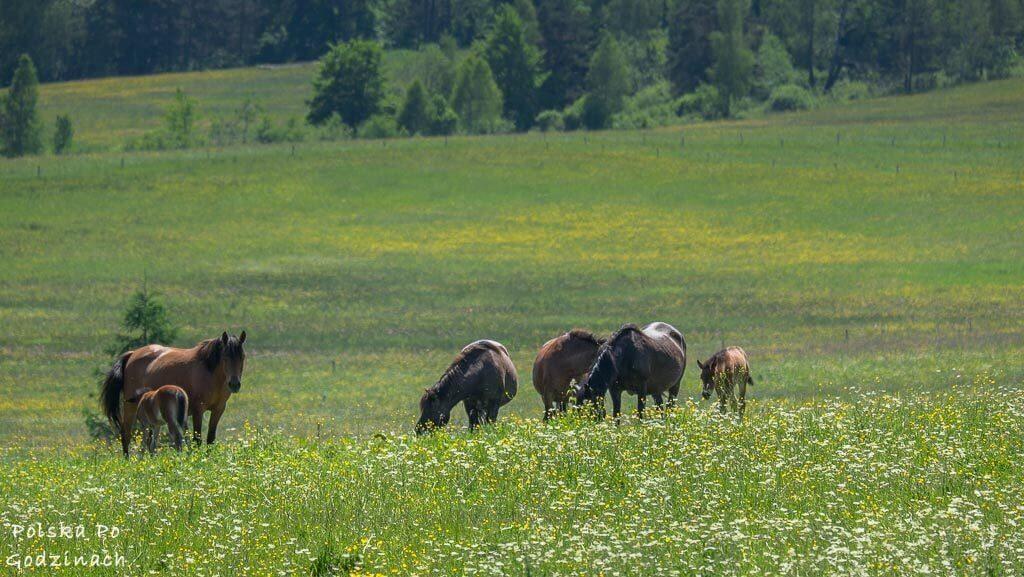 Konie pasące się na zielonych i ukwieconych łakach Beskidu Niskiego w Małopolsce