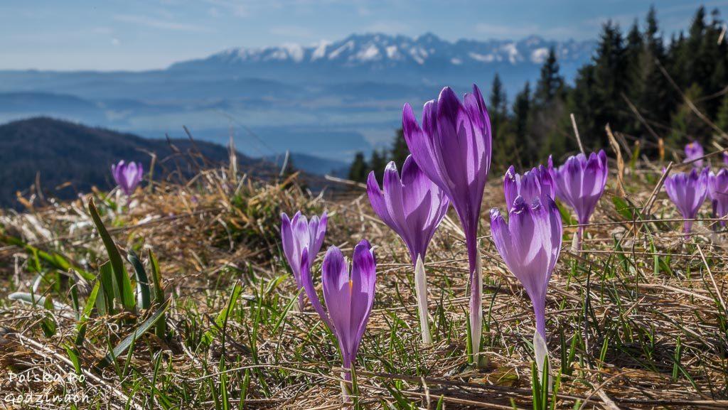 Krokusy rosnące na polanie w Gorcach ze szczytami Tatr w tle