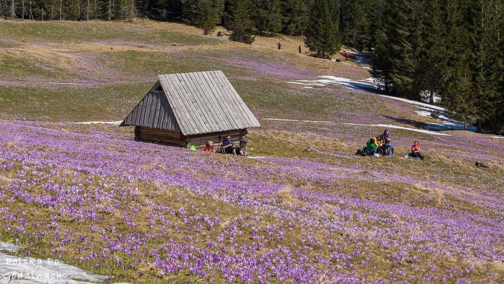 Polana Kalatówki w Tatrach usiana krokusami. Śniadanie wśród kwiatów.