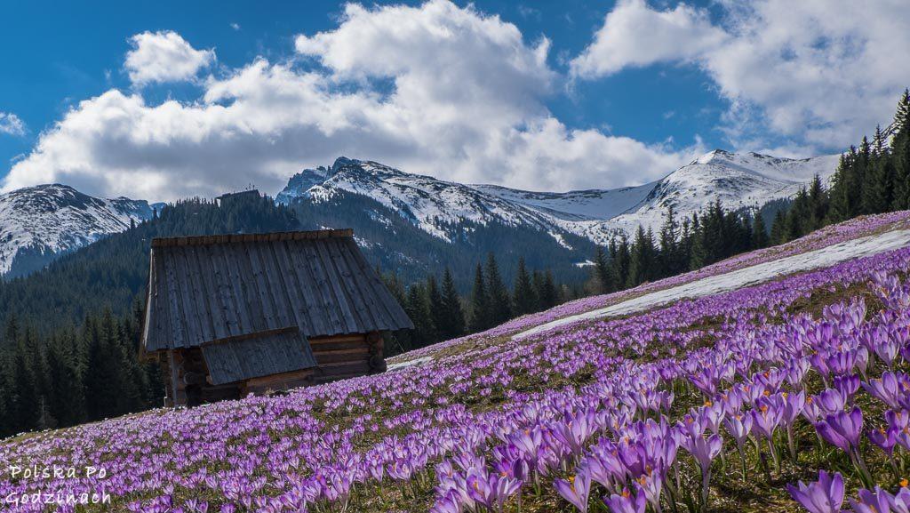 Polana Kalatówki. W tle bacówka, górskie szczyty i fioletowe krokusy pokrywające całą polanę.