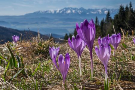 Krokusy w Gorcach – zaplanuj wiosenną wycieczkę!