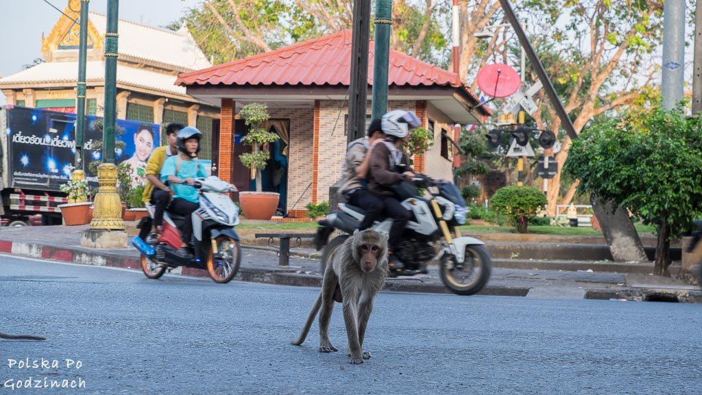Ulia Lop Buri. Makak przechodzi przez drogę.