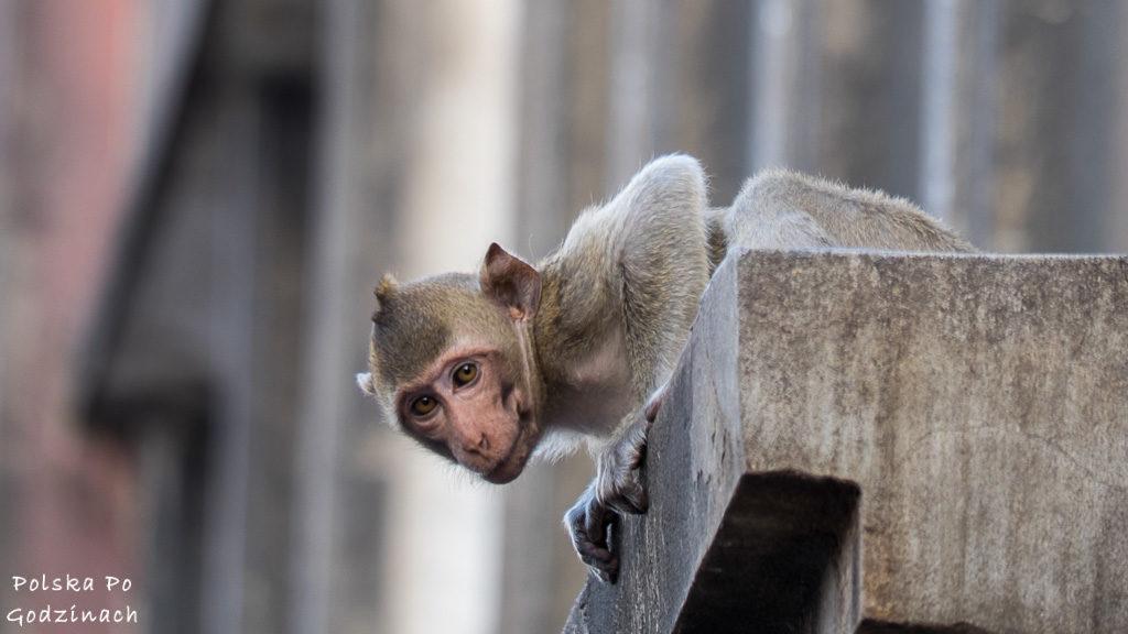 Małpy opanowały Lop Buri, są dosłownie wszędzie