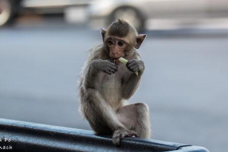 """Lop Buri czyli """"małpie miasto"""" w Tajlandii"""