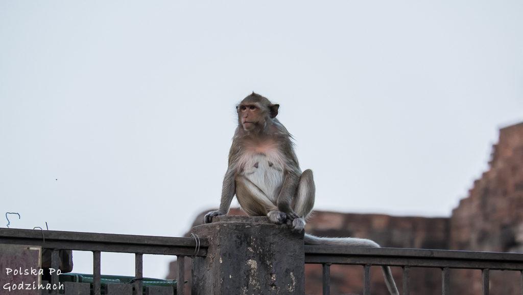 małpa obserwująca okolicę z murku