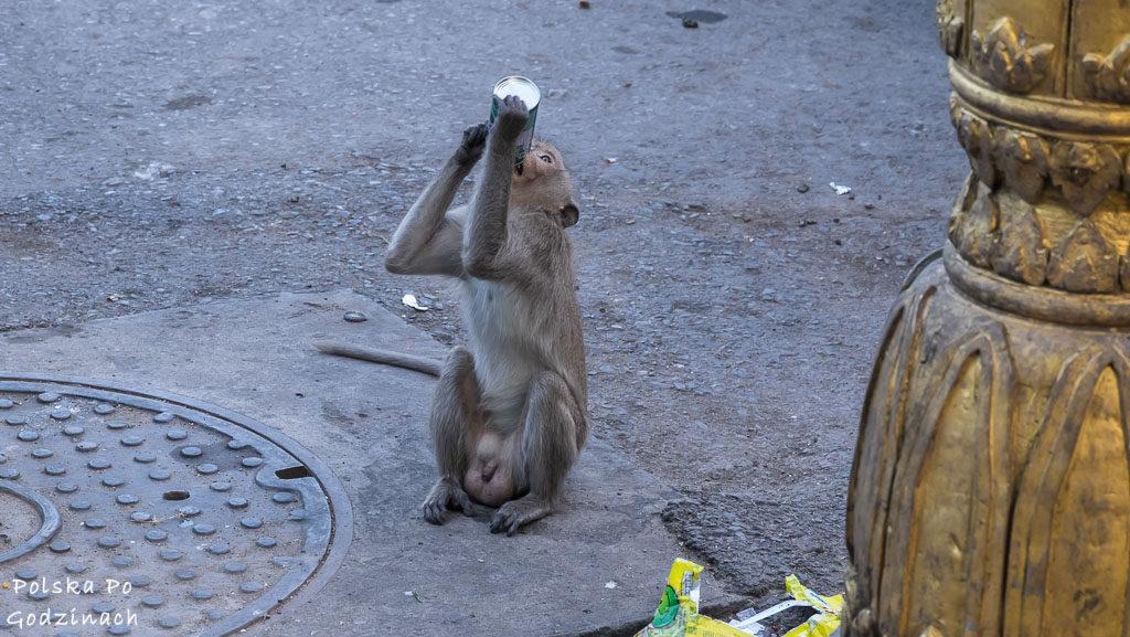 Małpa pijąca z puszki na ulicy w Lop Buri.