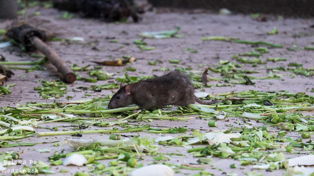 Szczur wśród odpadków w Lop Buri