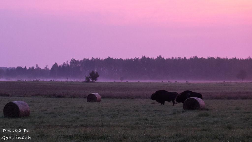 Puszcza Białowieska to bez wątpienia ciekawe miejsce w Polsce. Można zobaczyć żubry!