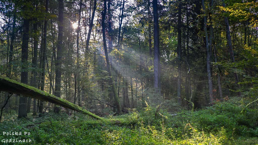 Puszcza Białowieska o wschodzie słońca.