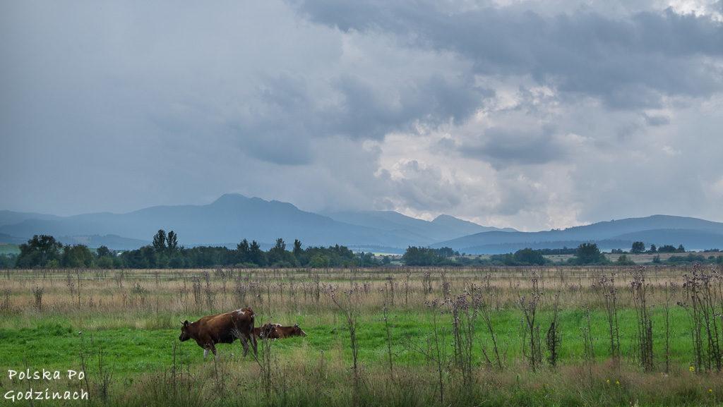 Krowy pasące się przy Szlaku Wokół Tatr