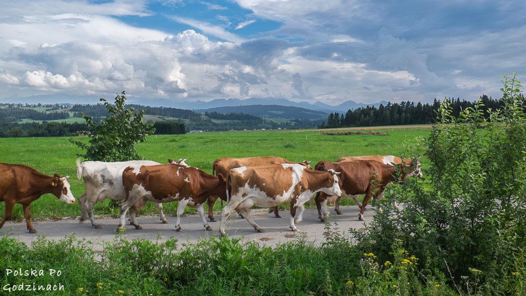 Podhalańskie krowy wędrują wzdłuż Szlaku Wokół Tatr