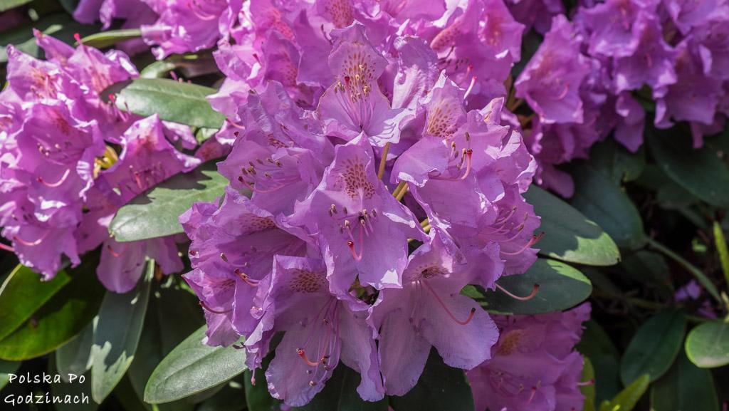 ogrody w pszczynie rododendrony