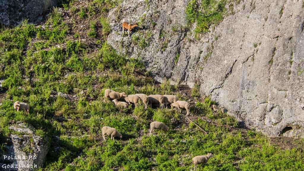 Owce i kozy pasą się na zboczu Doliny Prądnika.
