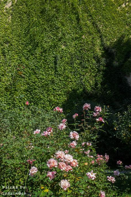 Róże na tle ściany pokrytej zielonym bluszczem