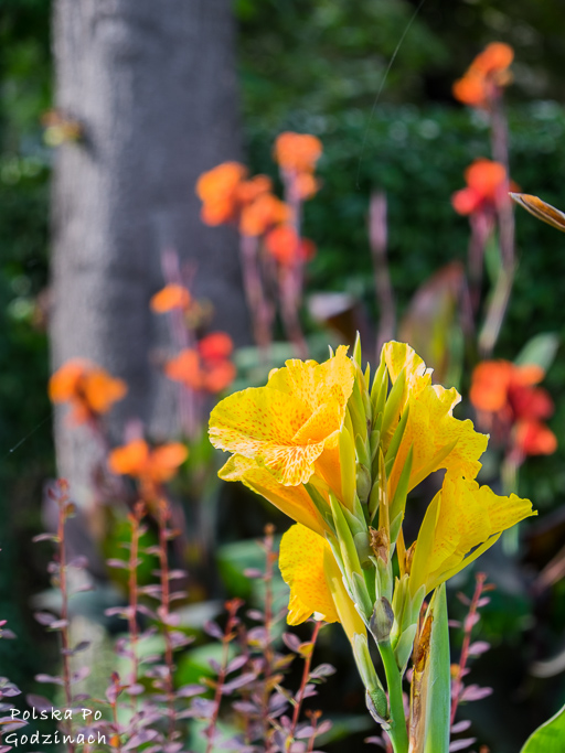żółte i pomarańczowe kwiaty w ogrodzie na Karmelickiej
