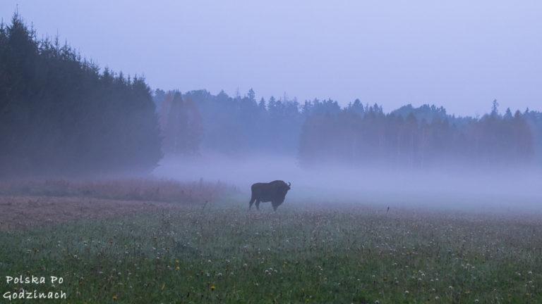 Puszcza Białowieska i żubry to jedna z największych atrakcji Podlaskiego.