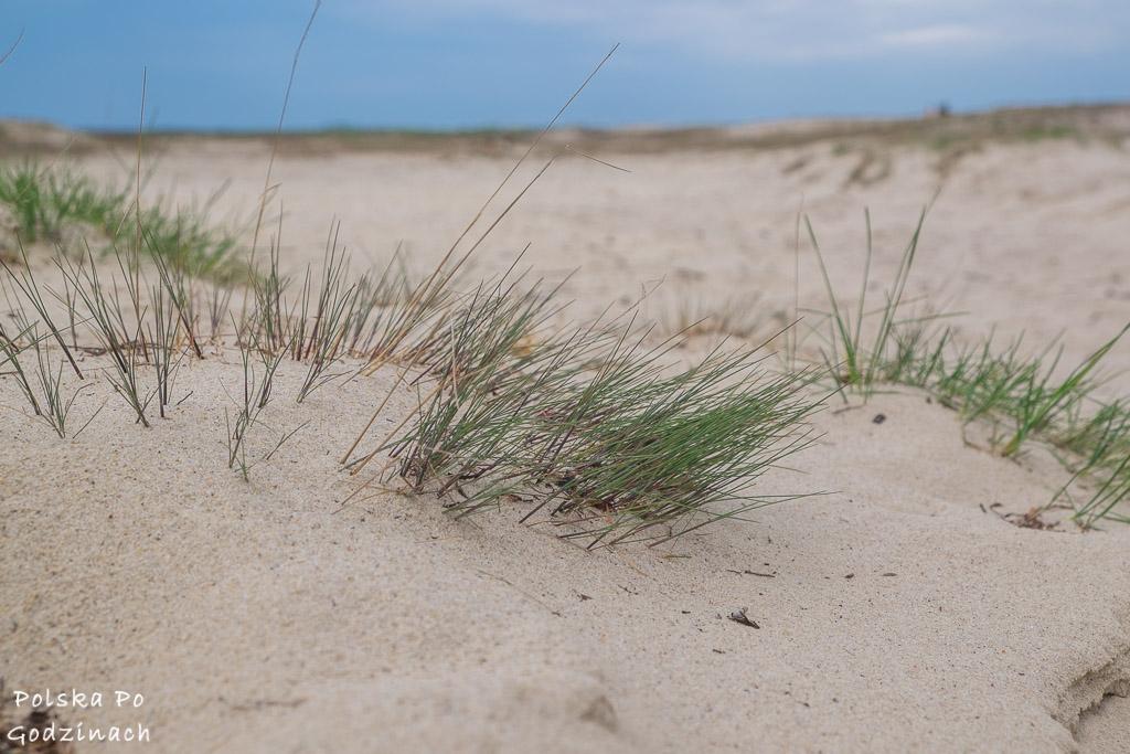 trawa na pustyni błędowksiej
