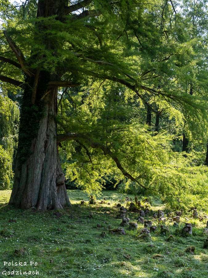 Cypryśnik amerykański w arboretum przy Zamku w Kórniku