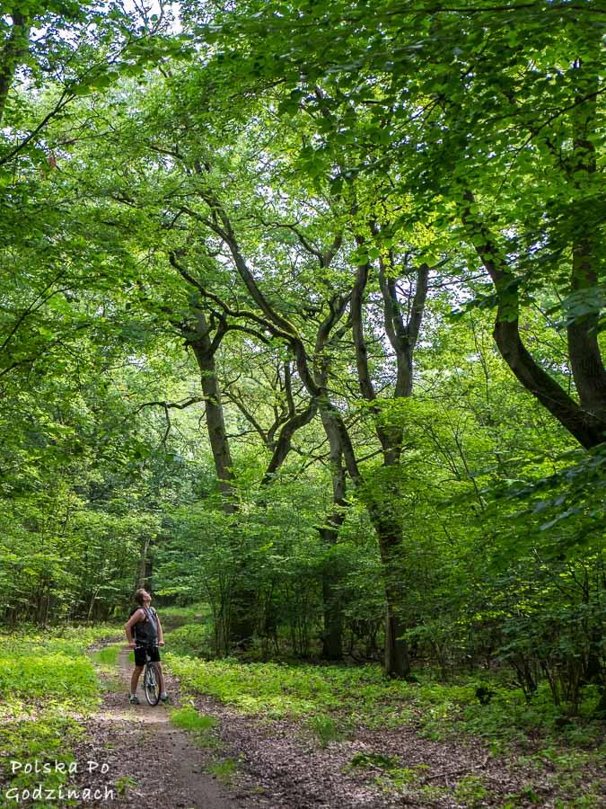 Rowerzysta wpatrzony w drzewa w Wielkopolskim Parku Narodowym.
