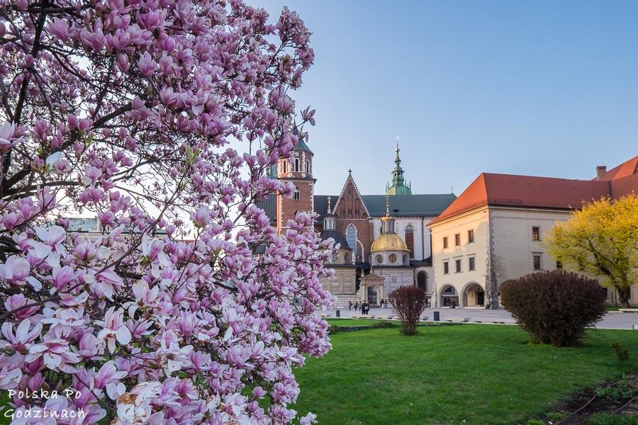 magnolie na Wzgórzu Wawelskim